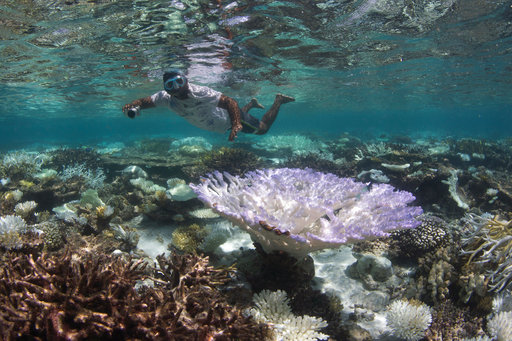 This May 2016 photo provided by the Ocean Agency/XL Catlin Seaview Survey shows a snorkeler surveying the coral bleaching in the Maldives. Coral reefs, unique underwater ecosystems that sustain a quarter of the world's marine species and half a billion people, are dying on an unprecedented scale. Scientists are racing to prevent a complete wipeout within decades. (The Ocean Agency/XL Catlin Seaview Survey via AP)