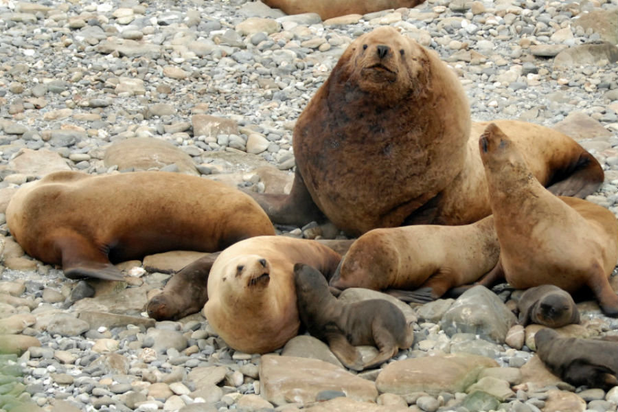 A harem of Steller sea lions surround one large male and their pups on Gillon Point at Agattu Island, Alaska, in 2016. NOAA Fisheries scientists are crowdsourcing volunteers to review thousands of photos to determine whether they show any sea lions. (Katie Sweeney/NOAA Fisheries/AP/file)