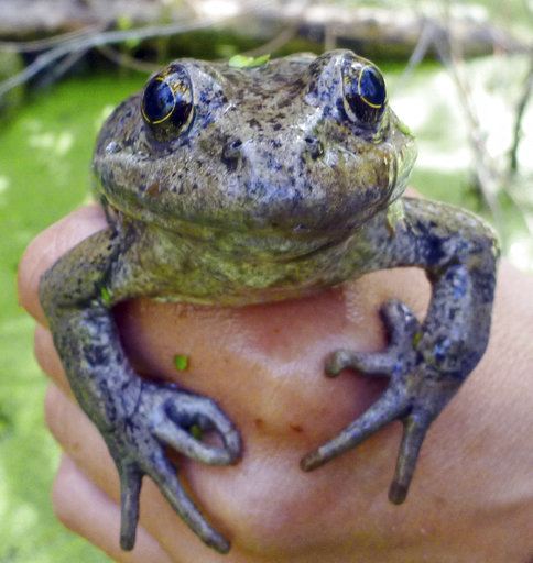 This March 20, 2017 photo from the National Park Service shows a California red-legged frog (Rana draytonii), found in the Santa Monica Mountains near Los Angeles. The discovery involving the rare frog has researchers hopping for joy. The NPS says egg masses from the frog were found last week in a stream in the mountains adjacent to the Los Angeles metropolitan area. It's evidence that the endangered species is reproducing. (National Park Service via AP)