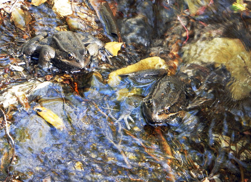 This March 14, 2017 photo provided by the National Park Service shows a pair of California red-legged frogs (Rana draytonii), found in the Santa Monica Mountains near Los Angeles. The discovery involving the rare frog has researchers hopping for joy. The NPS says egg masses from the frog were found last week in a stream in the mountains adjacent to the Los Angeles metropolitan area. It's evidence that the endangered species is reproducing. (National Park Service via AP)