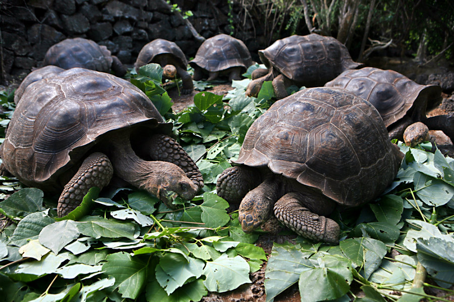 Galápagos giant tortoises of the Charles Darwin Research Station eat their greens in 2009. (Melanie Stetson Freeman/The Christian Science Monitor/File)