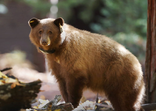 This Nov. 1, 2016 photo provided by Drew Wharton shows a female black bear wearing GPS collar in Yosemite National Park. Rangers on Monday, April 3, 2017, unveiled a website that allows anybody around the world to track the movement of the park's iconic black bears. Bears are fitted with GPS collars that ping their location from a satellite onto the website, which rangers hope will educate the public about bears and ultimately protect them from harm. (Drew Wharton via AP)