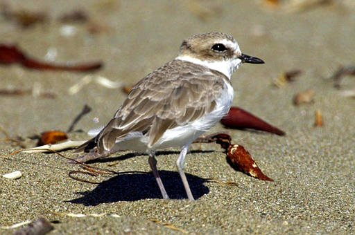 This Sept. 27, 2001, file photo shows a snowy plover at a beach nesting area in San Luis Obispo County on California's Central Coast. Federal officials said the western snowy plover is nesting along the Los Angeles County coast for the first time in nearly seven decades. The U.S. Fish and Wildlife Service reported Monday, May 8, 2017, that nests for the small, rare shorebird were found last month at Santa Monica Beach, Dockweiler State Beach, and Malibu Lagoon State Beach. (AP Photo/Reed Saxon, File)