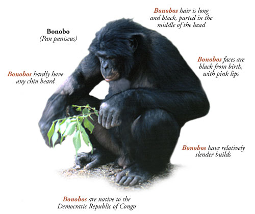 All about the Bonobo<br>Photo from greatapetrust.org