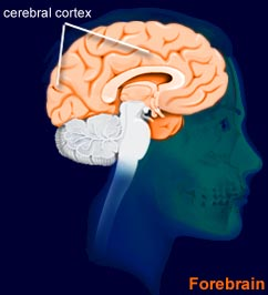 The cerebral cortex....the brain (brainexplorer.org)