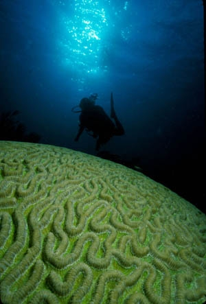 Brain Coral (Richard Murphy)