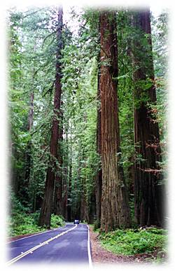 Redwoods near Arcata, California