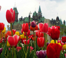 Tulips blooming on Parliament Hill in Ottawa. (canadacool.com)