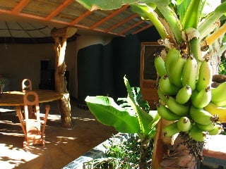 Year round banana crop inside Earthship (earthship.org)
