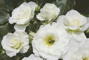 Fred hollows vision (www.treloar-roses.com.au)