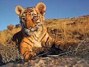 Tiger Cub (www.worldwildlife.com)