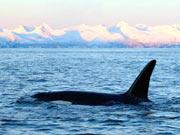 Orca (www.worldwildlife.org)