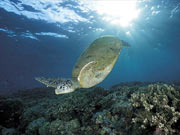 Marine Turtle (www.worldwildlife.org)