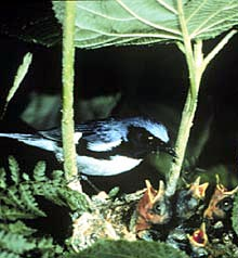 A black-throated blue warbler, a songbird<br> (Photo Courtesy of Dartmouth College)