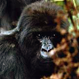 This is one of the mountain gorillas in Rawanda.