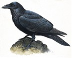 The raven from Poe's poem  (http://static.howstuffworks.com/gif/willow/raven-info0.gif)