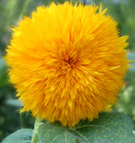 John liked teddy bear sunflowers (http://www.flower-gardening-made-easy.com/images/Sunflower-teddybear.jpg)