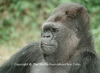 Koko the gorilla<br> (http://www.koko.org/world/pics_g1.html)