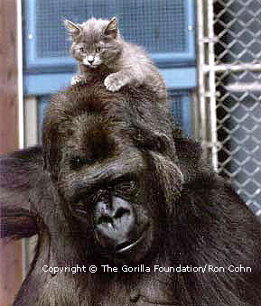 Koko is very gentle with all of her kittens. <br>(http://koko.org/kidsclub/pictures/kitten6.html)