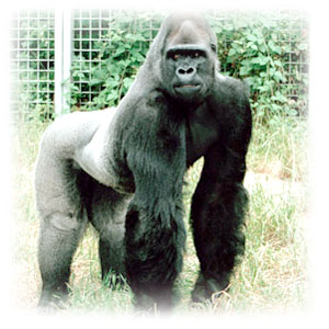 This is Koko's mate, Ndume. <br>(http://www.koko.org/world/ndume.html)