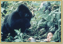 Dian is approached by a curious gorilla. (http://www.gorillafund.org/dian_fossey/)