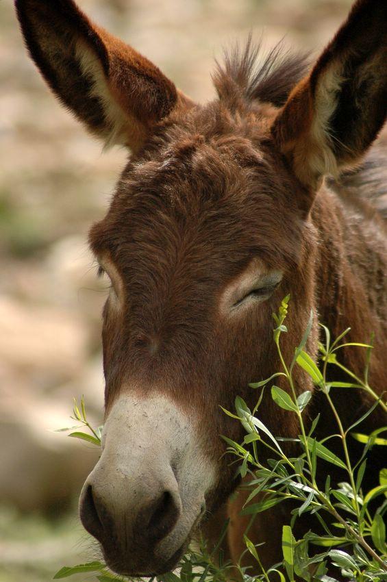 Donkey (http://vroum52.com/vroumanimaux.img/ane1.jpg)