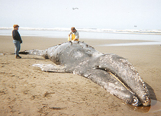 Emaciated and stranded gray whale.  (NMFS/NOAA)