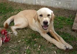 This is a picture of a yellow lab. (http://travel67.wordpress.com/category/lab-report/page/2/)