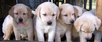 Allie has known me since she was a puppy. (http://hawaii.inetgiant.com/aiea/AdDetails/Yellow-Labrador-Retriever/5581175)