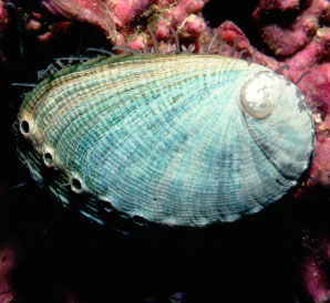 Green Abalone (http://www.eebweb.arizona.edu/collections/)