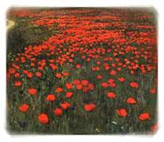 Poppies in Flanders Fields