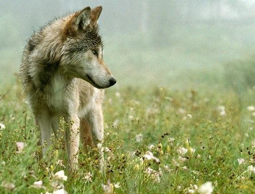 (http://www.livingwithwolves.org/wwd_a_jim.html)