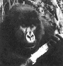 <a href=http://www.humancondition.info/Beyond/images/Image29.jpg>Digit the Gorilla </a href>