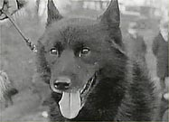 <a href=http://www.pbs.org/wnet/nature/sleddogs/balto.html>Balto the Sled Dog</a>