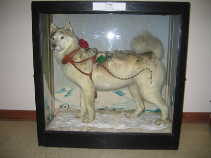 Fritz in Case (The Carrie M. McLain Memorial Museum, Nome, Alaska)
