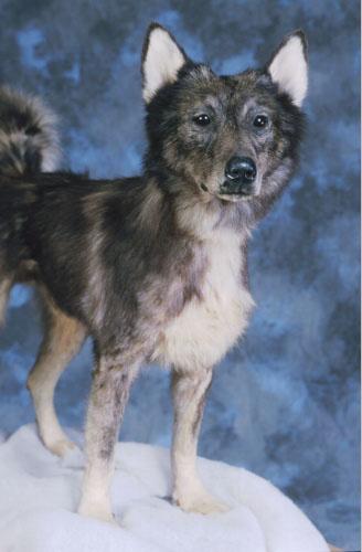 Leonhard Seppala's Lead Dog Togo Alaska Taxidermy ((c) 2006 Jeff Schultz / AlaskaStock.com)